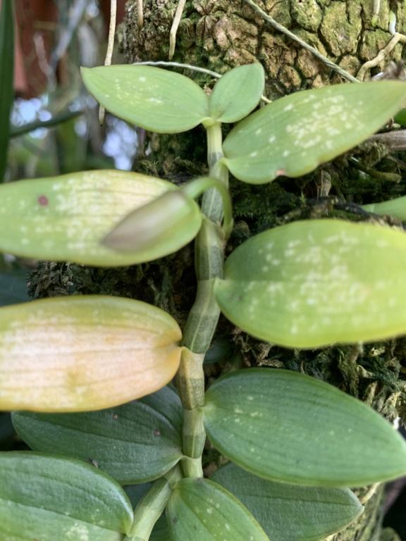 Dendrobium loddigesii  Img_2313