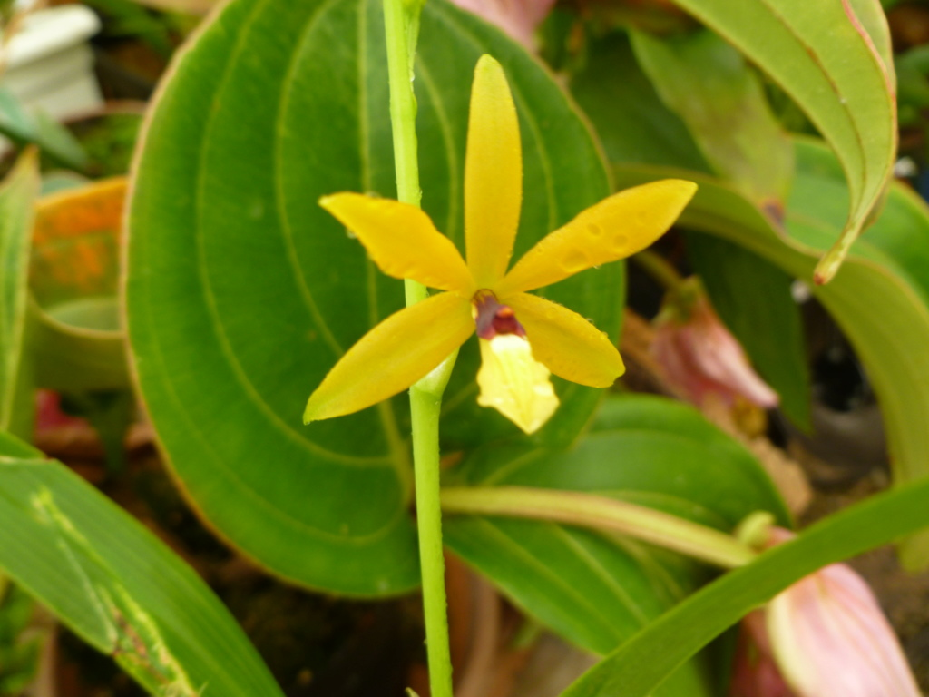 Identification orchidée P1030828