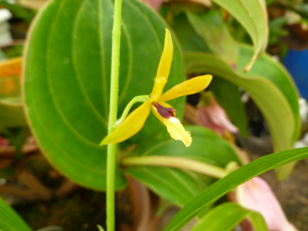 Identification orchidée P1030831
