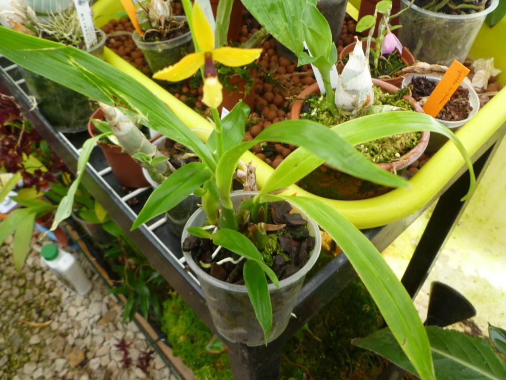 Identification orchidée P1030832