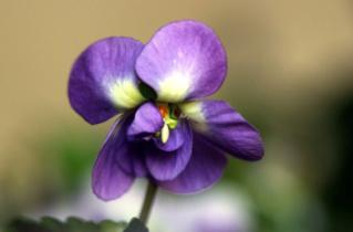 Dame Violette reviens .... Violet12