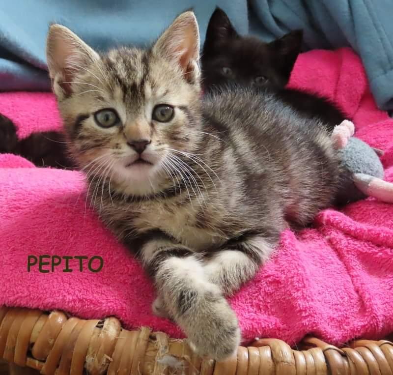 PEPITO - TIGRE - En FA dans le 62 Fb_img43