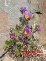 Erste Frühlingsboten im Garten und in Wald und Flur - Seite 91 Pulsat10