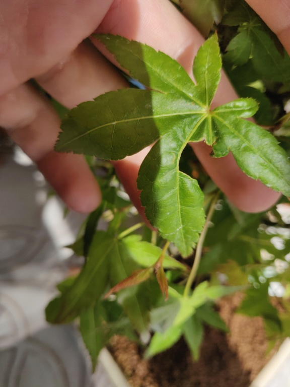 Acero con foglie bucate Img_2017