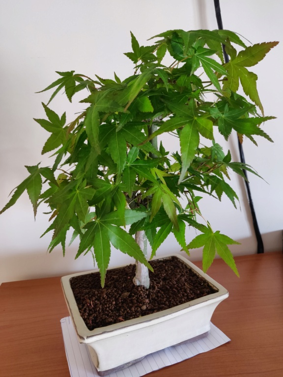 Acero con foglie bucate Img_2020