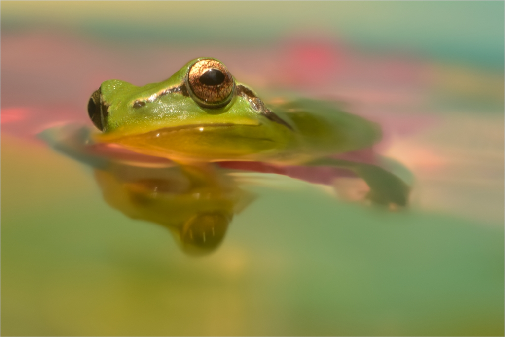 [Macro_et_Proxy] grenouille Petite10