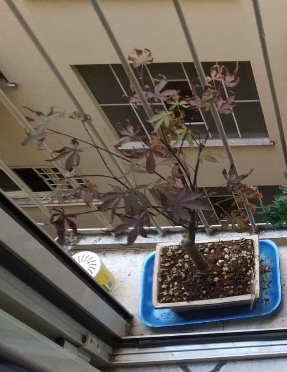 Acero Rosso, colpo di caldo e secco Acero10