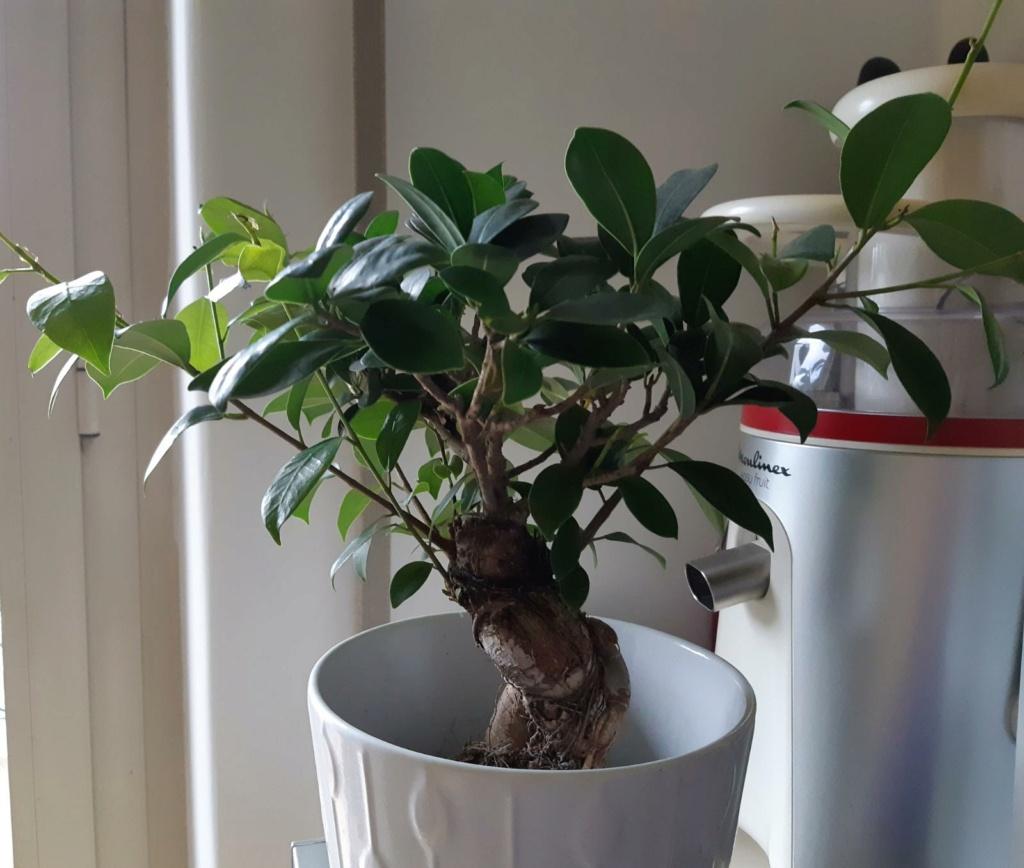 Potatura Ficus Ginseng Img110