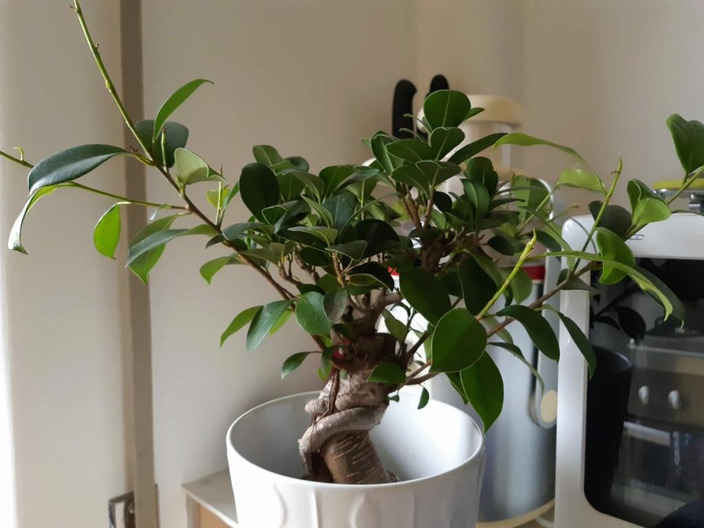 Potatura Ficus Ginseng Img210