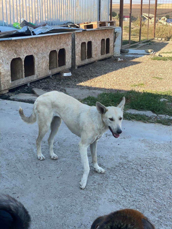 Mausi- femelle- fourrière de Târgu Frumos 11806710