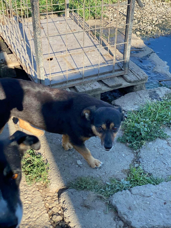 Rosea- femelle- fourrière de Târgu Frumos - adoptée via Andreea 11807010