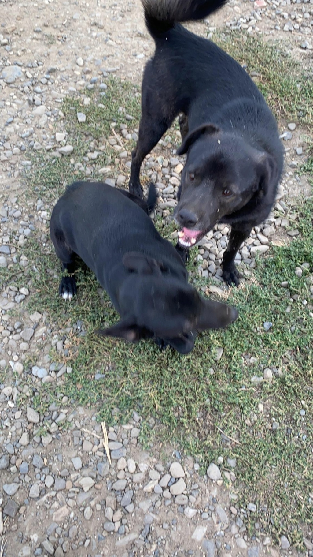 Black Onyx - mâle - fourrière de Târgu Frumos 12016511