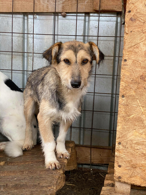 Ayrton- mâle-fourrière de Târgu Fumos - réservé adoption (68) 12272011