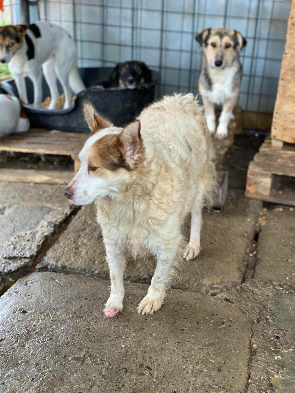 Ayrton- mâle-fourrière de Târgu Fumos - réservé adoption (68) 12276811