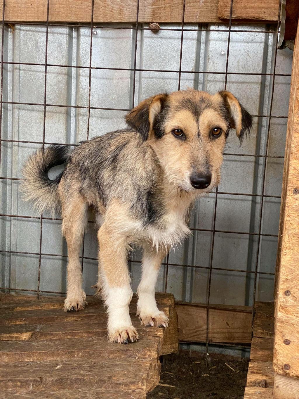 Ayrton- mâle-fourrière de Târgu Fumos - réservé adoption (68) 12281410