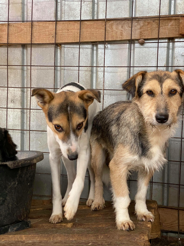 Ayrton- mâle-fourrière de Târgu Fumos - réservé adoption (68) 12282910