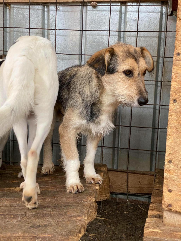 Ayrton- mâle-fourrière de Târgu Fumos - réservé adoption (68) 12282911
