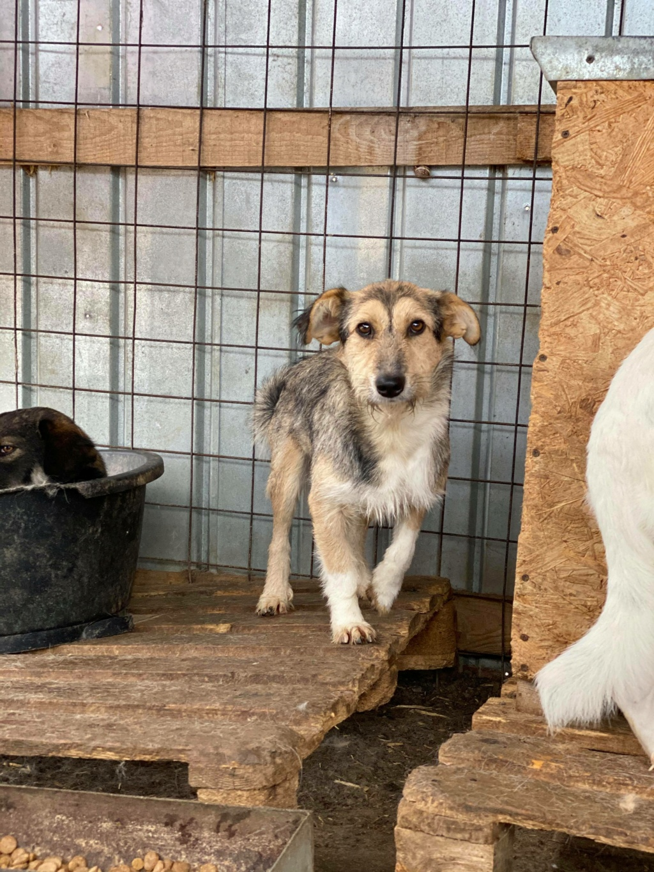 Ayrton- mâle-fourrière de Târgu Fumos - réservé adoption (68) 12298110