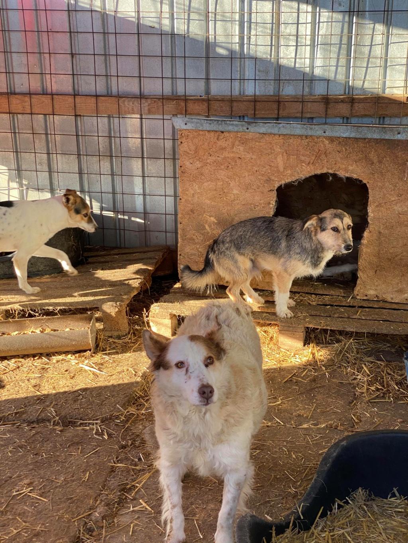 Ayrton- mâle-fourrière de Târgu Fumos - réservé adoption (68) 12647611