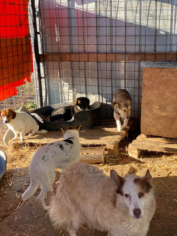 Ayrton- mâle-fourrière de Târgu Fumos - réservé adoption (68) 12709112