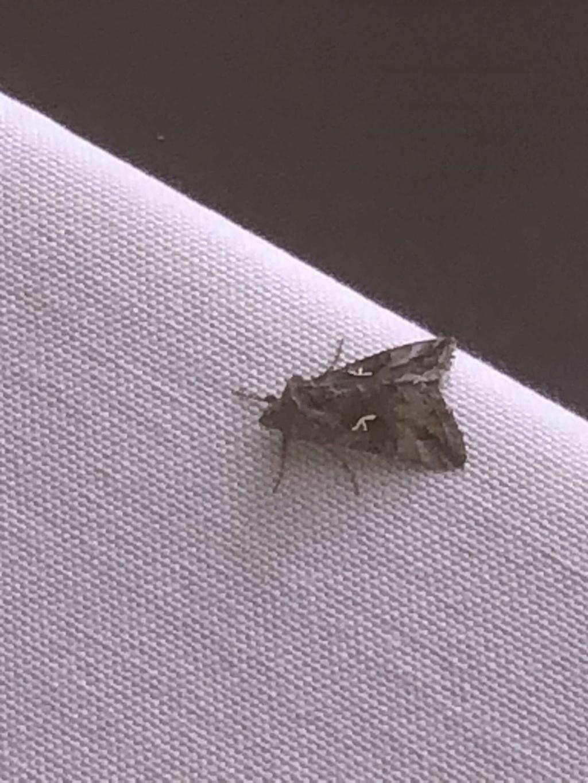 Quel espèce est ce? [Autographa gamma] Papill11