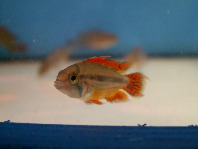 Bourse Aquariophile : St Hilaire de Villefranche le 18 octobre 2009 Pict0546