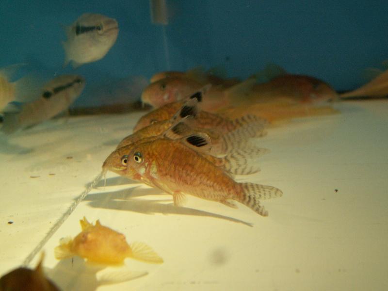 Bourse Aquariophile : St Hilaire de Villefranche le 18 octobre 2009 Pict0556