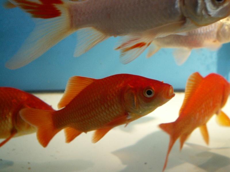 Bourse Aquariophile : St Hilaire de Villefranche le 18 octobre 2009 Pict0581
