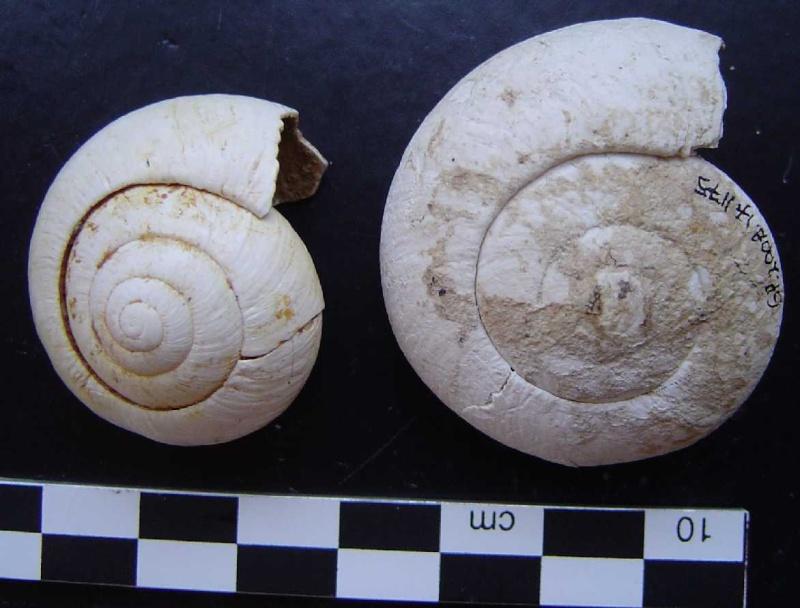 [résolu]Tropidomphalus extinctus et Cepaea turonensis. Helix_11