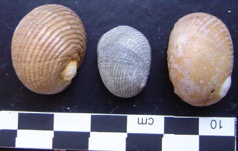 autres gastéropodes du musée du Grand-Pressigny Nerita11