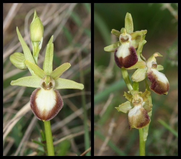 Ophrys exaltata marzuola (Ophrys de Mars ) Mar410