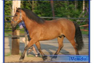 presentation de chevaux canadiens Dusty_10
