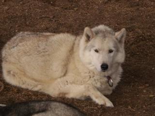 KAYUK husky (m) le vrai bisounours  REF 07  ADOPTE P8020030
