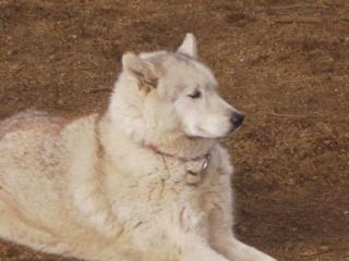 KAYUK husky (m) le vrai bisounours  REF 07  ADOPTE P8020031