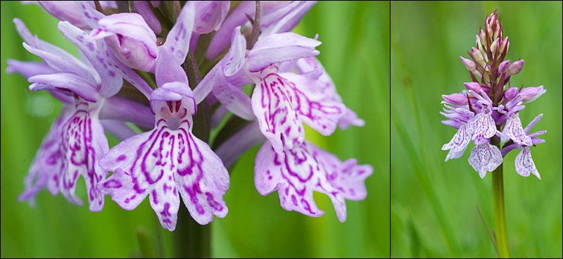Dactylorhiza maculata ( Orchis maculé ) Aubrac14
