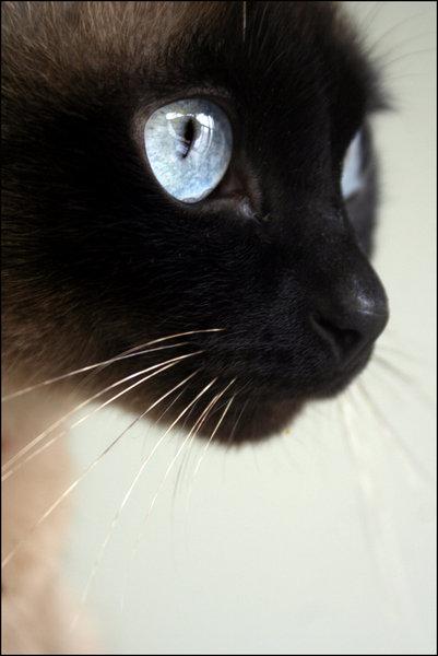 Yeux de chats Animau13