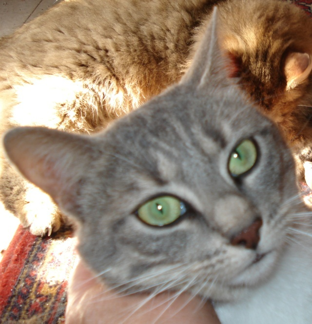 Yeux de chats Animau15