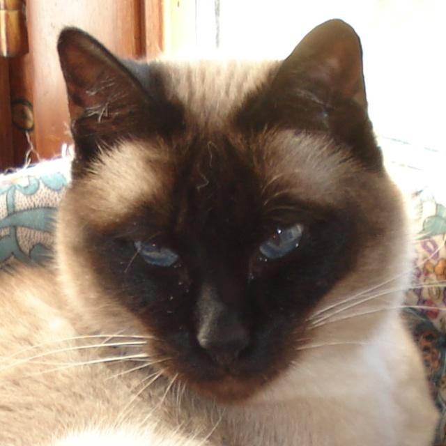 Yeux de chats Animau17