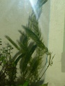 Cératophyllum demersum P1080326
