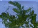 Cératophyllum demersum P1080327