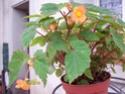 Bégonia Papaya ? [Begonia sutherlandii ] 100_2210