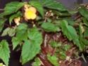 Bégonia Papaya ? [Begonia sutherlandii ] 100_2211