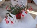2 begonia a identifier [bégonias type cascade (tuberhybrida pour les puristes)] Bagoni10