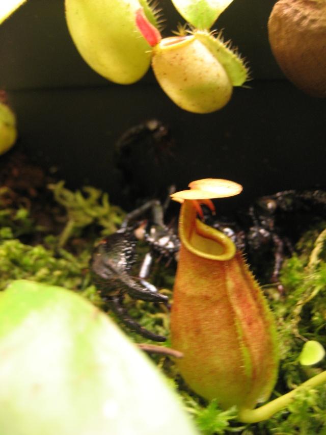 Compatibilité plantes carnivores / scorpions tropicaux Bical_12