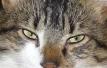 Yeux de chats - Page 2 Tigrou12