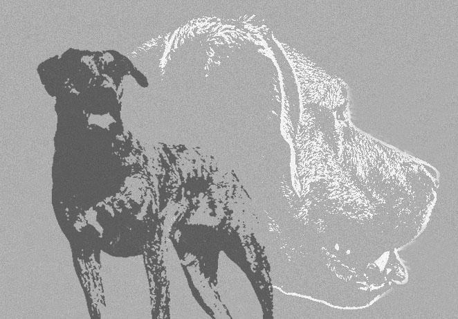 Le forum du Fila de São Miguel (cão fila São Miguel/azores cattle dog) Fsm_co10