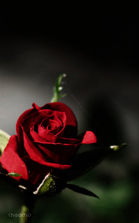 The Rose.