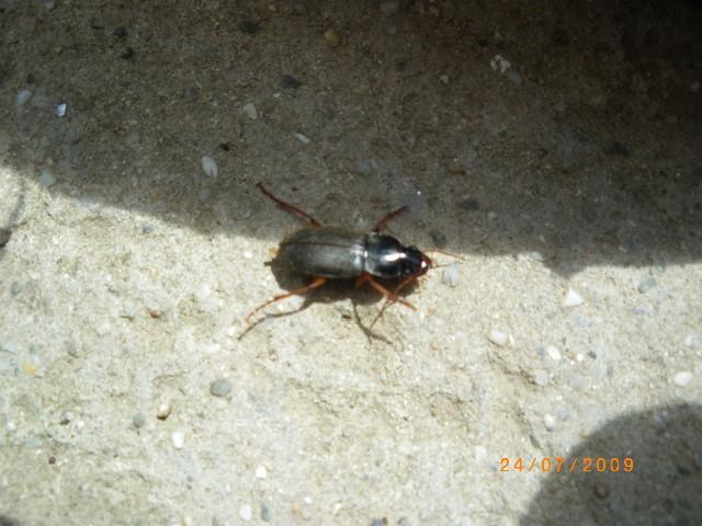 insectes noires Imgp0611