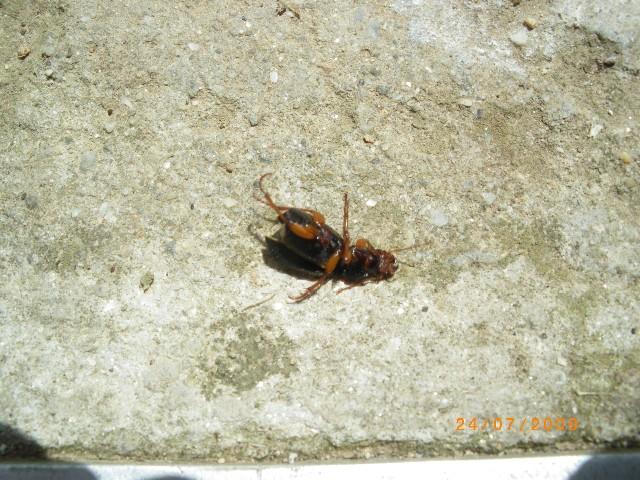 insectes noires Imgp0612