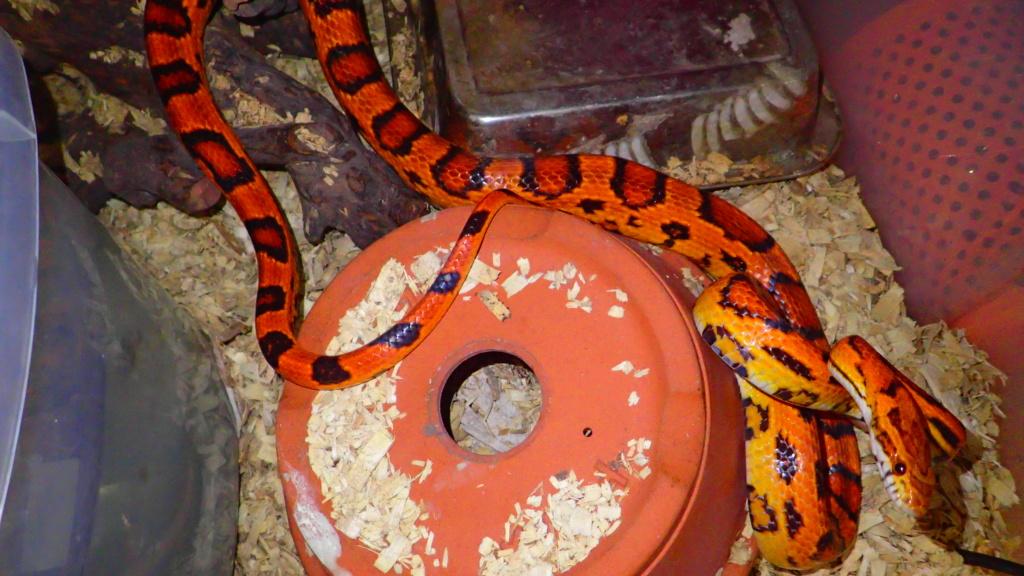 Importer mon serpent depuis le Japon P4221610